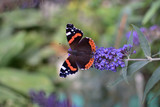 Butterfly Admiral on the flower of Buddley David