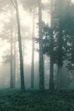 Jesień las, jodła na mgle