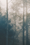 Autumn forest, firs on the fog, natural background