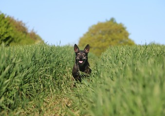 beautiful small mixed dog is sitting in a corn field in the sunshine