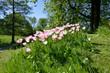 Leinwanddruck Bild - Bluehende Tulpen auf einer gruenen Wiese im Sonnenschein, Blooming tulips on a green meadow in the sunshine