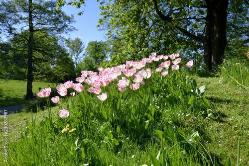 Leinwanddruck Bild Bluehende Tulpen auf einer gruenen Wiese im Sonnenschein, Blooming tulips on a green meadow in the sunshine