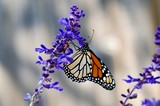 Monarch Butterfly on mealy blue sage