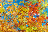 Background of multicolored autumn leaves against the blue sky