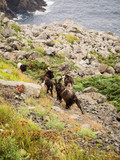 Animales con cuernos en las rocas de Faro Cabo Ortegal, en La Coruña, España, verano de 2018 - 230298100