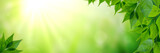Panorama Of Fresh Green Leaves And Sunlight  - 230303597