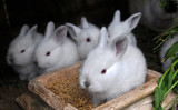Young Californian breed rabbits