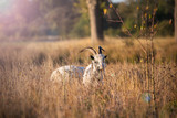 Goat in grass - 230309971