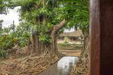arbre cuba