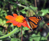 Monarch butterfly feeding on a mexican sunflower