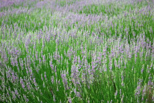 Lavender - 230340501