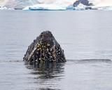 close-up portrait of humpback in antarctica