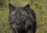 Timber Wolf (also known as a Grey Wolf or Gray Wolf) with black and silver markings and gold eyes looking directly at the camera