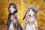 Two stylish Afghan hounds, dogs, in funny fur hats on the background of the autumn forest. Concept clothes for animals, fashion for dogs © Mariana