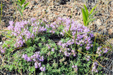 Blooming thyme, lat Thymus, on highland coast of Baikal. Medicinal herb, fragrant spice - 230354965