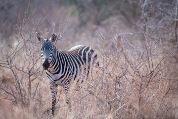 Zebra hiding in the bush