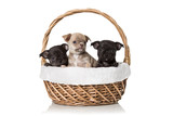 Adorable chihuahua puppies sitting in a basket. Studio shot. Isolated on white background.