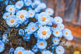 Aster flowers bloom in the garden. Selective focus. - 230376121