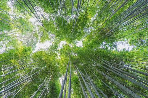 Bamboo grove at Arashiyama bamboo forest in Kyoto, Japan