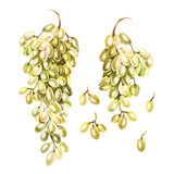 Set of watercolor bunches of white grapes, green. Hand painted botanical design elements isolated on white background.  - 230377723