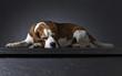 Leinwanddruck Bild - Portrait of a purebred Beagle .