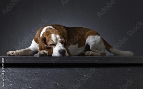 Leinwanddruck Bild Portrait of a purebred Beagle .