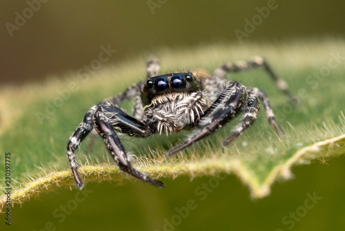 Cute Jumping Spider - 230397775