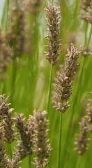 Lavender seed heads