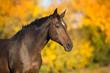 Bay stallion in fall park - 230412374