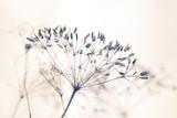 Samen von wilder Pflanze mit hellem Hintergrund und weichem Effekt stille und reine Stimmung Winter - 230416774