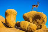 Antelope springbok on the rocks - 230422741