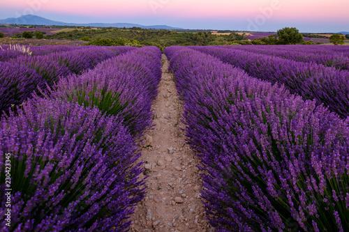 Champ de lavande en fleurs, coucher de soleil. Plateau de Valensole, Provence, France. © Marina