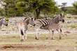 Zebra, females with foals