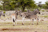 Zebra, females with foals - 230426340