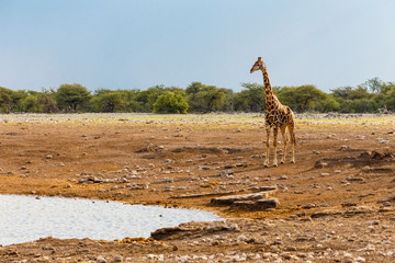 Giraffe, Etosha National Park, Namibia © Cornelia Pithart
