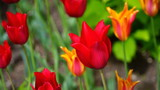 red tulips in the garden - 230427346
