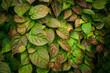 Leaves of Actinidia kolomikta. Selective focus. Shallow depth of field.