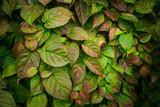 Leaves of Actinidia kolomikta. Selective focus. Shallow depth of field. - 230427976