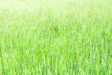Fresh green grass with dew drops - 230441795
