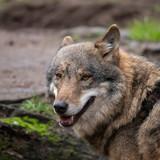 European Wolf (cap), Canis lupus lupus