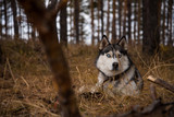 Siberian Husky Richwood for a walk in the autumn forest