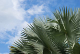 Exotic Tropical Palm Tree on Blue Sky Background - 230460706