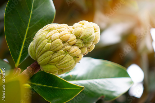 The Magnolia Tree Exhibits Seed Pods Or Cones Or Fruit Buy Photos