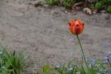 orange red tulip in the garden in spring (Germany)