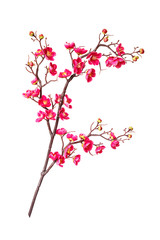 Branch of blossoming cherry