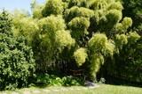Bambus im Botansichen Garten Tübingen