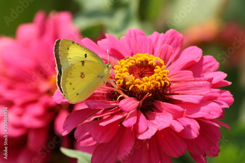 A yellow Clouded Sulphur Butterfly feeds on a pink Zinnia flower.