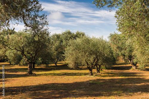 Leinwandbild Motiv Alte Olivenbäume in Apulien