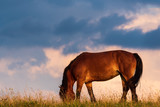 Portrait of a horse standing with his back to the sun at sunset on the field and sky background - 230491108