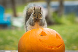 Squirrel eating a carved halloween pumpkin  - 230493178